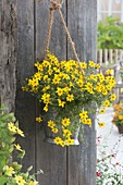 Zinc bucket with Bidens ferulifolia 'Solaire M Star' as hanging flower container