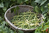 Freshly picked bush beans (Phaseolus) in basket on the vegetable bed