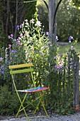 Stuhl neben Zaun, bewachsen mit Lathyrus odoratus (Duftwicken)