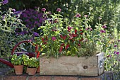 Wooden box with hot peppers, snack paprika (Capsicum annuum), Zinnia