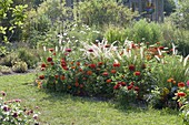 Red flowerbed with Zinnia (Zinnia), Pennisetum (Feathered Grass)
