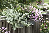 Balcony box with Petunia Famous 'White Rose Vein', Helichrysum