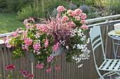 Pelargonium peltatum 'Decora Rosa', 'Snow Cascade'