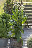 Nicotiana tabacum in wooden tub