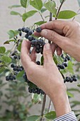 Pick berries of Aronia melanocarpa (chokeberry)