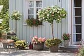 Terrasse mit Rosen und Balkonblumen : Rosa 'Chippendale'