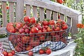 Freshly picked tomatoes in wire basket