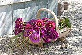 Fresh cut Zinnia (Zinnia) flowers in the basket