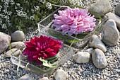 Grosse Blüten von Dahlia (Dahlien) mit Miscanthus (Chinaschilf)