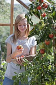 Tomato crop in the greenhouse