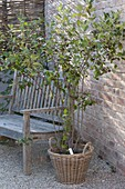Aronia melanocarpa in basket on gravel terrace, wooden bench