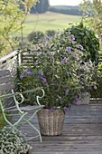 Buddleja Buzz 'Violet' in basket, chair