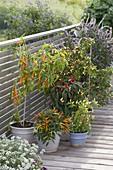 Hot peppers and chili (Capsicum frustescens, Capsicum annuum)