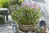 Basket with Cleome spinosa 'Senorita rosalita' (spider flower)
