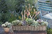 Basket with echeveria and senecio (ragwort)