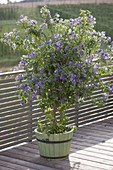 Solanum rantonnetii syn. lycianthes (gentian tree) in wooden tub