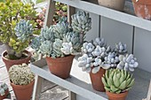 Pachyphytum oviferum (moonstone) and Echeveria in clay pots