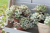Echeveria pulvinata 'Doris Taylor' (Echeveria) in clay pots