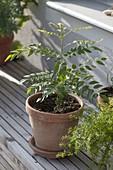 Murraya koeningii (Indian curry leaf) in clay pot