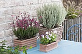 Terracotta boxes with daboecia, dwarf curry herb