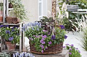 Spaetsommerkorb blau - lila bepflanzt : Salvia farinacea 'Light Candle'