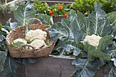 Harvest cauliflower in the raised bed