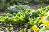 Harvest spinach (Spinacia oleracea)