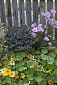 Tropaeolum majus, ornamental cabbage and cosmos