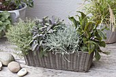 Herbs in the basket box