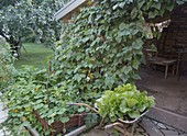 Privacy screen made of climbing bean on trellis at the garden shed