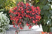 Begonia Summerwing's 'Dark Elegance'