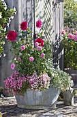 Old zinc tub with Dahlia, Diascia Breezee Plus 'Pastel' 'Pink'