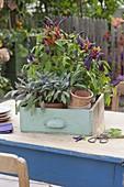 Chili 'Pretty in Purple' and sage 'Purpurascens'