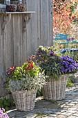 Baskets of chili 'Pretty in Purple', sage 'Tricolor'