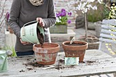 Broccoli growing in clay pots