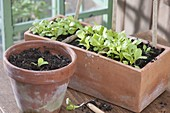 Terracotta box with seedlings of Batavia salad, lettuce and ice lettuce