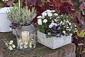 Calluna Garden Girls 'Alicia' (bud heather), Chrysanthemum