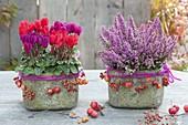 Rustic pots with cyclamen (cyclamen) and Erica gracilis