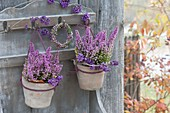 Erica gracilis 'Beauty Queens' in small terracotta pots