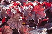 Red leaves of Heuchera (purple bells) with hoarfrost