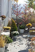 Autumn terrace with miscanthus (miscanthus), chrysanthemum