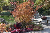 Buntes Herbstbeet : Acer palmatum 'Katsura' (Japanischer Fächerahorn)