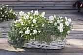 Viola cornuta 'White Perfection', Sedum anopetalum