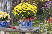 Chrysanthemum (autumn chrysanthemum) in pout pots