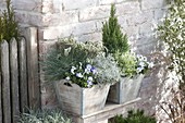 Wooden tub planted in silver gray, Festuca cinerea 'Azurit'