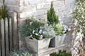 Wooden tub planted in silver gray, Festuca cinerea 'Azurit'