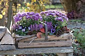 Wooden basket with Chrysanthemum (autumn chrysanthemum), Viola cornuta