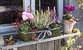 Moss box with Cyclamen, Calluna vulgaris 'Alisa'