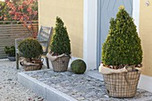 Buxus (Box) cone and ball winterized packed in wire baskets