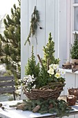 Basket with Chamaecyparis thyoides 'Top Point'